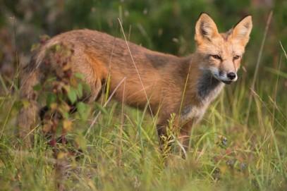 fox wildlife